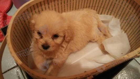 如何照顾一个月的小狗?